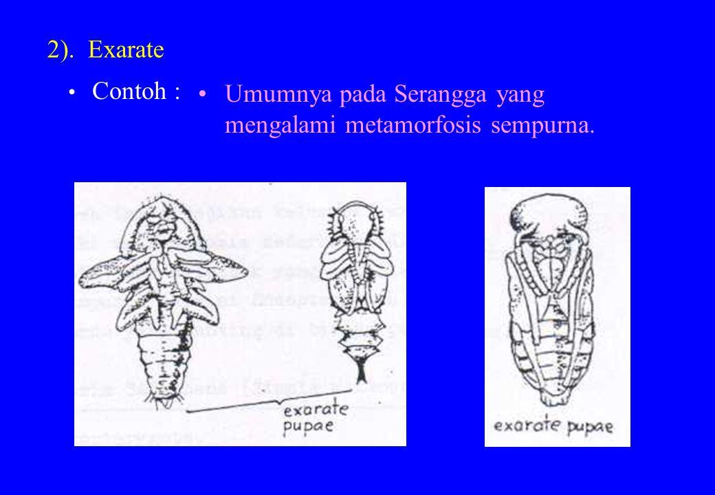 2). Exarate Contoh : Umumnya pada Serangga yang mengalami metamorfosis sempurna.