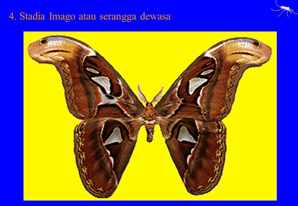 4. Stadia Imago atau serangga dewasa