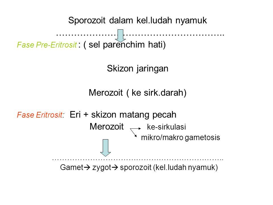 Sporozoit dalam kel.ludah nyamuk ……………………………………………….. Fase Pre-Eritrosit : ( sel parenchim hati) Skizon jaringan Merozoit ( ke sirk.darah) Fase Eritro