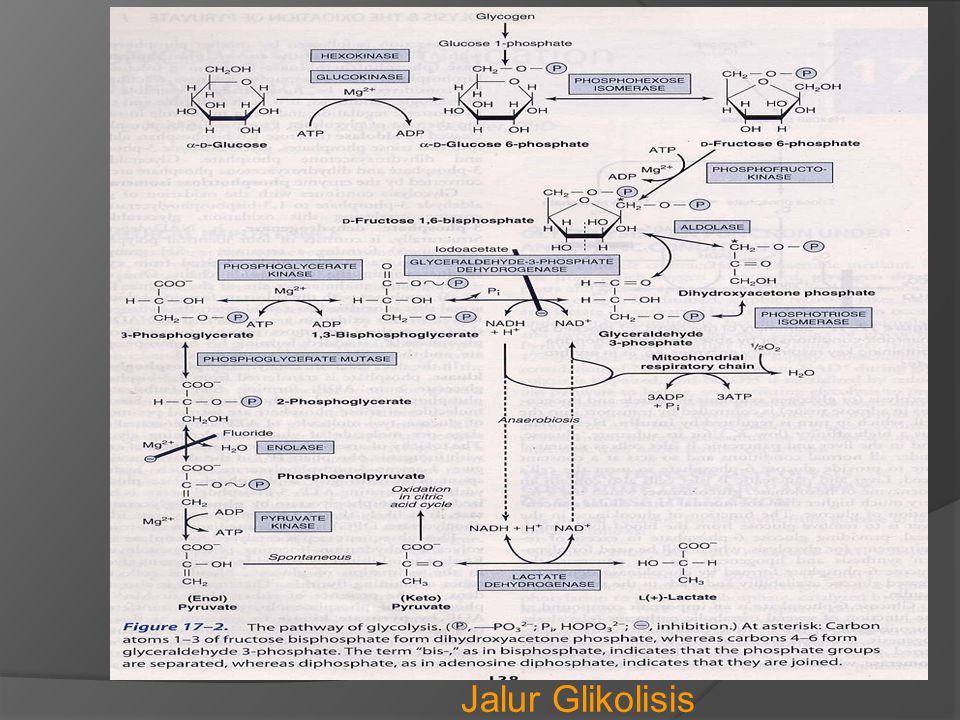  Reaksi2 pd Glikolisis pada umumnya berjalan 2 arah, kecuali 3 reaksi berikut berjajan searah  GLIKOLISIS DI ERITROSIT : * Eritrosit dewasa tidak mempunyai inti sel dan orga- nel sel ( mitokondria ) Rantai Respirasi dan Siklus Asam Sitrat tidak dapat terjadi * oksidasi glukosa di eritrosit selalu menghasilkan asam laktat