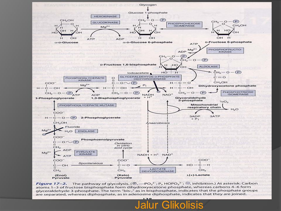 GLIKOGENOLISIS  Proses pemecahan glikogen  Dalam otot : * tujuannya untuk mendapat energi bagi otot * hasil akhirnya : piruvat / laktat sebab gluko- sa 6-p yg dihasilkan dr glikogenolisis masuk ke jalur glikolisis di otot  Dalam hati : * tujuannya : untuk mempertahankan kadar glukosa darah di antara dua waktu makan * Glukosa 6-p akan diubah menjadi glukosa Glukosa 6-p + H 2 O Glukosa + Pi Glukosa 6-fosfatase