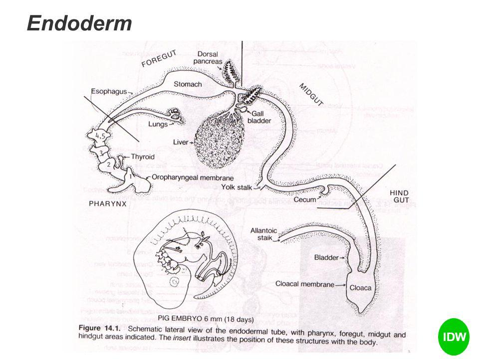 Endoderm IDW