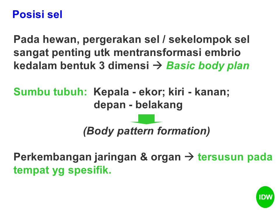 Pada hewan, pergerakan sel / sekelompok sel sangat penting utk mentransformasi embrio kedalam bentuk 3 dimensi  Basic body plan Sumbu tubuh: Kepala - ekor; kiri - kanan; depan - belakang (Body pattern formation) Perkembangan jaringan & organ  tersusun pada tempat yg spesifik.