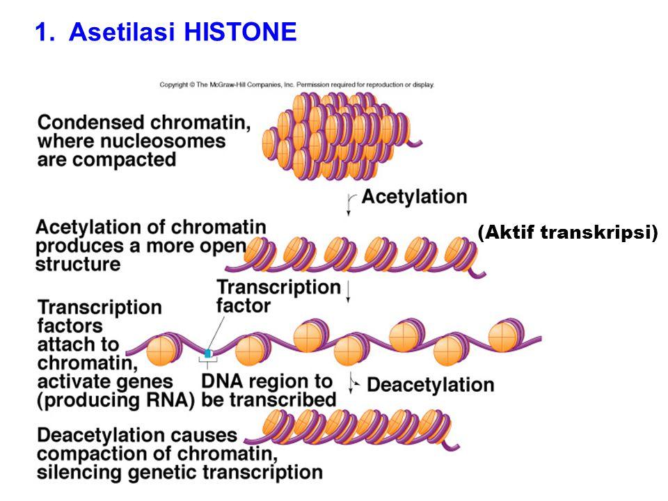 (Aktif transkripsi) 1. Asetilasi HISTONE