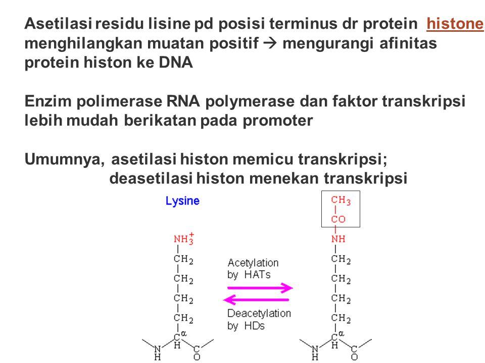 Asetilasi residu lisine pd posisi terminus dr protein histone menghilangkan muatan positif  mengurangi afinitas protein histon ke DNAhistone Enzim po