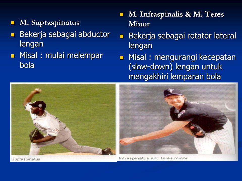 M. Supraspinatus M. Supraspinatus Bekerja sebagai abductor lengan Bekerja sebagai abductor lengan Misal : mulai melempar bola Misal : mulai melempar b