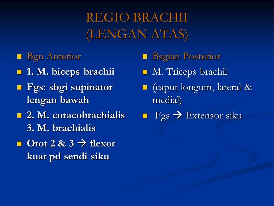 REGIO BRACHII (LENGAN ATAS) Bgn Anterior Bgn Anterior 1. M. biceps brachii 1. M. biceps brachii Fgs: sbgi supinator lengan bawah Fgs: sbgi supinator l