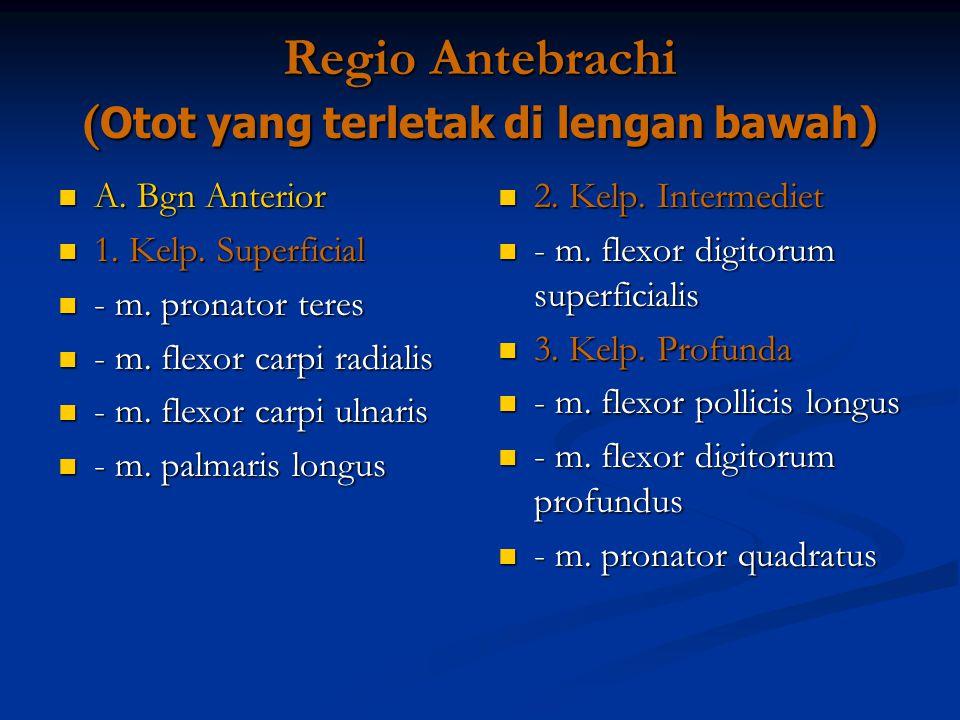 Regio Antebrachi ( Otot yang terletak di lengan bawah) A. Bgn Anterior A. Bgn Anterior 1. Kelp. Superficial 1. Kelp. Superficial - m. pronator teres -