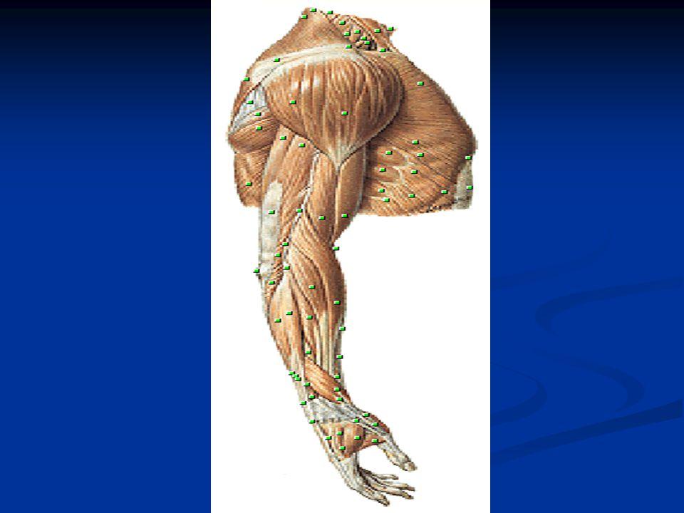 OTOT REGIO MANUS (TELAPAK TANGAN Otot kecil Otot kecil Dibagi atas : Dibagi atas : 1.