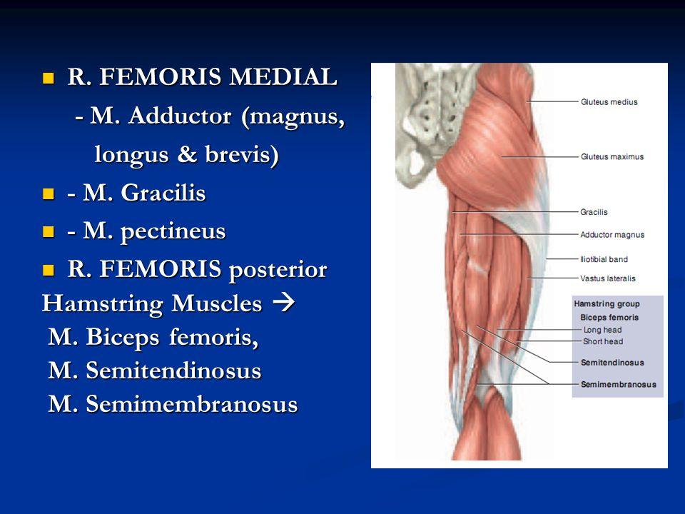 R. FEMORIS MEDIAL R. FEMORIS MEDIAL - M. Adductor (magnus, - M. Adductor (magnus, longus & brevis) longus & brevis) - M. Gracilis - M. Gracilis - M. p