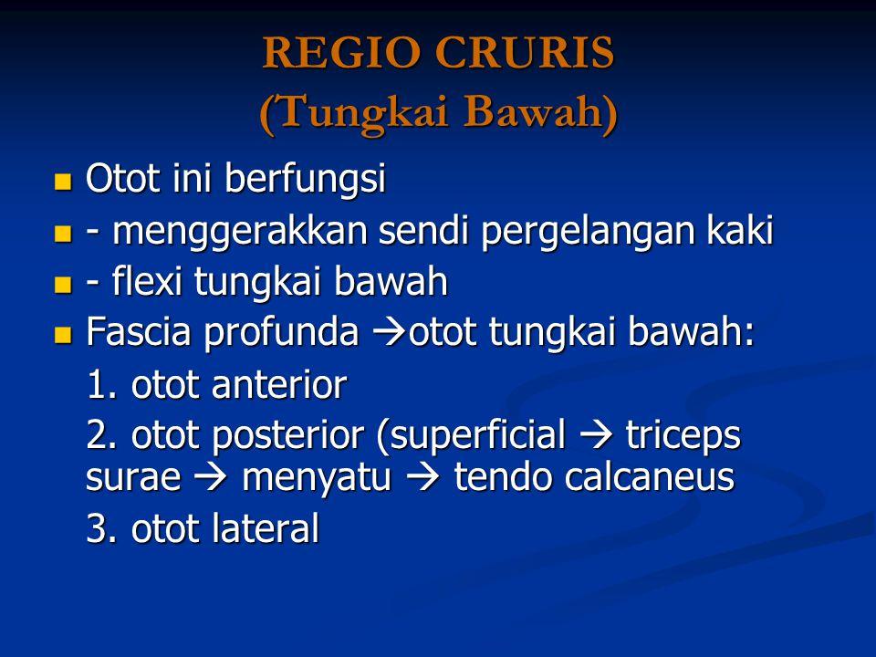 REGIO CRURIS (Tungkai Bawah) Otot ini berfungsi Otot ini berfungsi - menggerakkan sendi pergelangan kaki - menggerakkan sendi pergelangan kaki - flexi