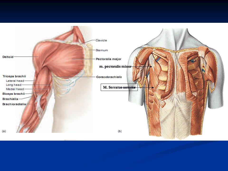 Regio Scapularis (Bgn blkg) 1.Penghub. lengan dg collumna vertebralis 1.