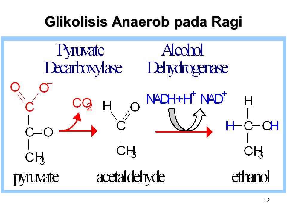 12 Glikolisis Anaerob pada Ragi