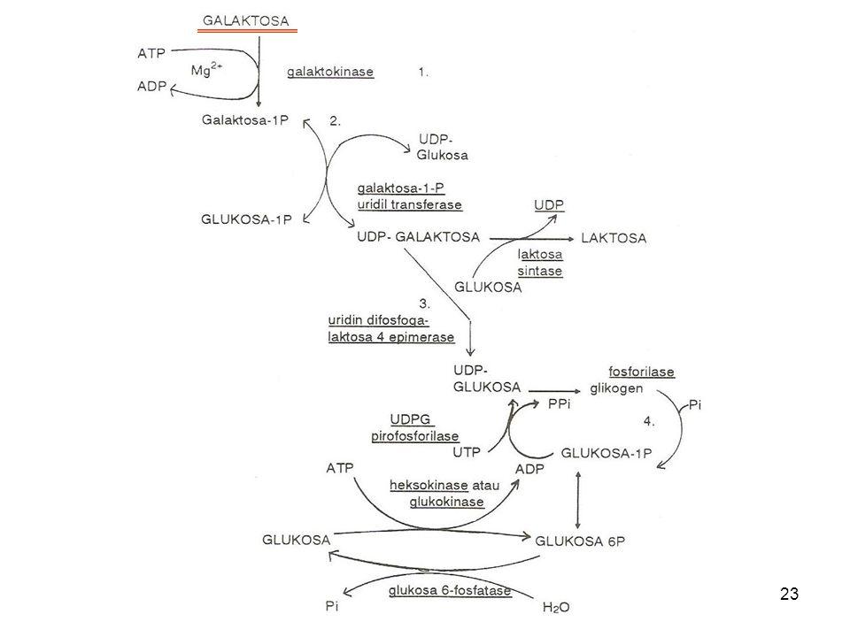 23 Metabolisme Galaktosa