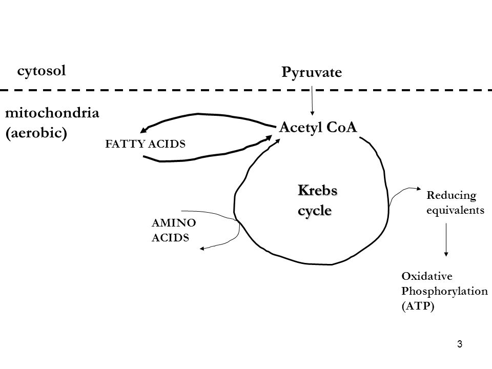 3 Pyruvate cytosol Acetyl CoA mitochondria (aerobic) Krebscycle Reducing equivalents Oxidative Phosphorylation (ATP) AMINO ACIDS FATTY ACIDS