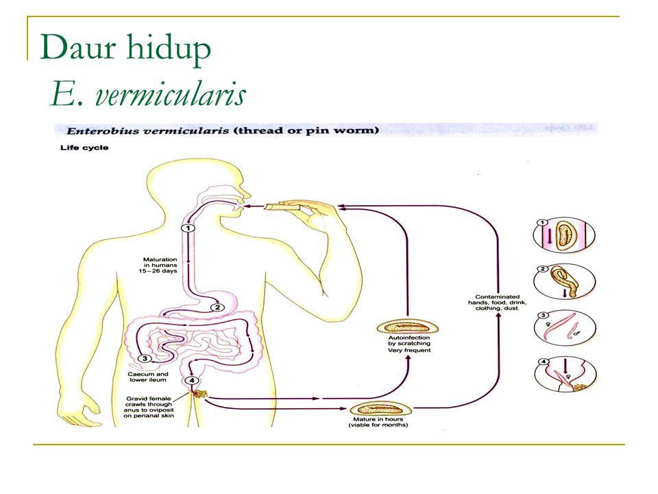 Daur hidup E. vermicularis