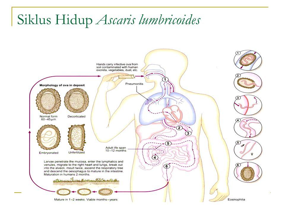 Siklus Hidup Ascaris lumbricoides