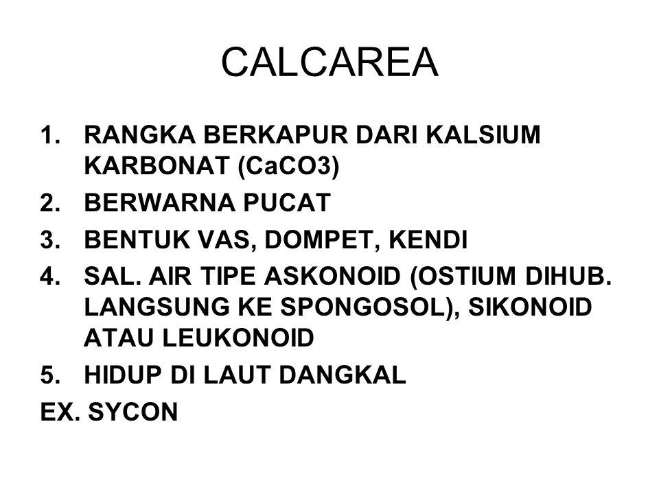 CALCAREA 1.RANGKA BERKAPUR DARI KALSIUM KARBONAT (CaCO3) 2.BERWARNA PUCAT 3.BENTUK VAS, DOMPET, KENDI 4.SAL. AIR TIPE ASKONOID (OSTIUM DIHUB. LANGSUNG