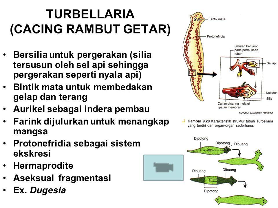 TURBELLARIA (CACING RAMBUT GETAR) Bersilia untuk pergerakan (silia tersusun oleh sel api sehingga pergerakan seperti nyala api) Bintik mata untuk memb
