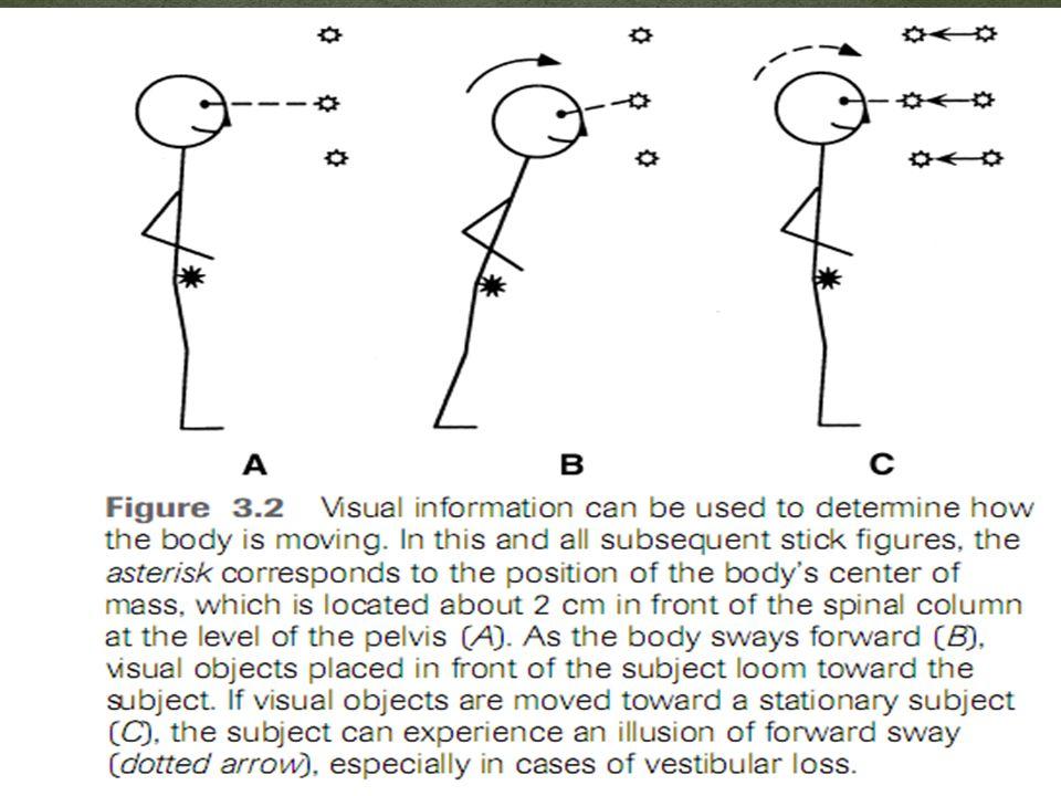Spinal radiograph dan fluoroskopi sependapat bahwa vertebra menahan tulang belakang secara paralel dengan vertikal gravitasi.