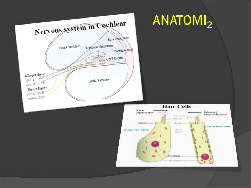 ETIOLOGI & PATOFISIOLOGI  Genetik: Mutasi genetik DNA mitokondria.