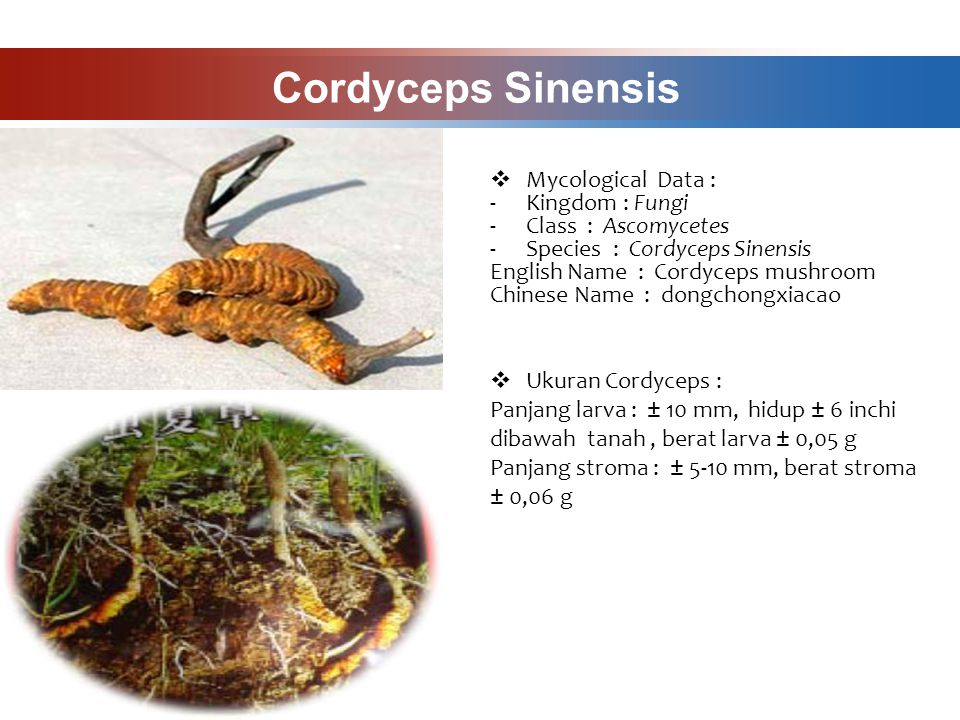 Cordyceps Sinensis  Mycological Data : -Kingdom : Fungi -Class : Ascomycetes -Species : Cordyceps Sinensis English Name : Cordyceps mushroom Chinese Name : dongchongxiacao  Ukuran Cordyceps : Panjang larva : ± 10 mm, hidup ± 6 inchi dibawah tanah, berat larva ± 0,05 g Panjang stroma : ± 5-10 mm, berat stroma ± 0,06 g