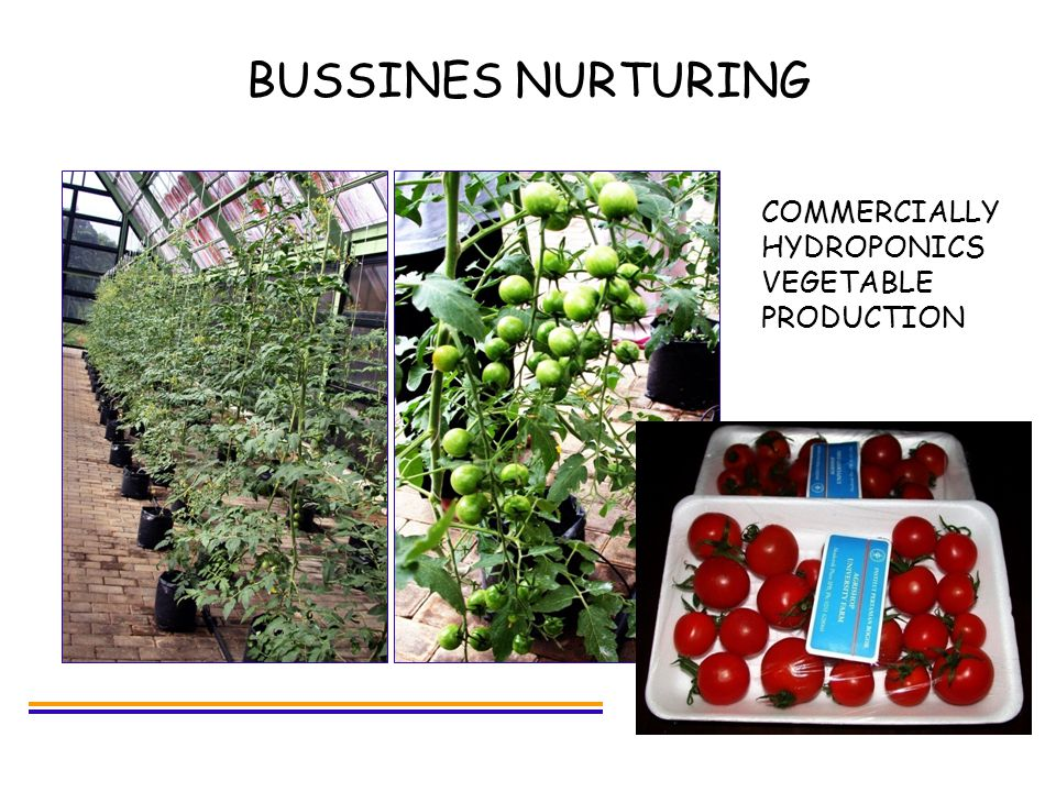 BUSSINES NURTURING COMMERCIALLY HYDROPONICS VEGETABLE PRODUCTION