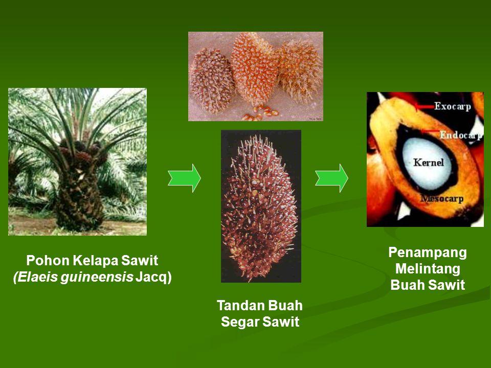 Pohon Kelapa Sawit (Elaeis guineensis Jacq) Tandan Buah Segar Sawit Penampang Melintang Buah Sawit