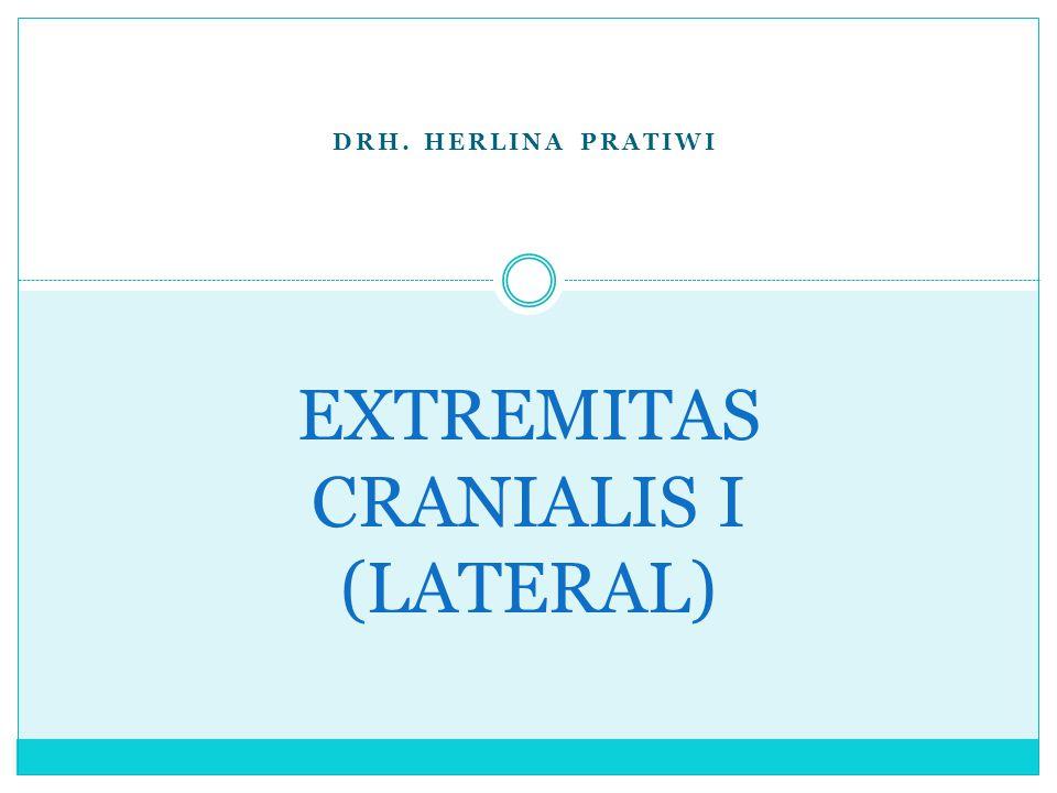 DRH. HERLINA PRATIWI EXTREMITAS CRANIALIS I (LATERAL)