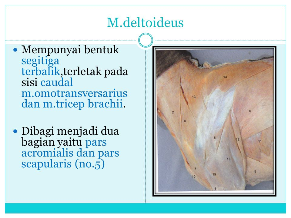 M.deltoideus Mempunyai bentuk segitiga terbalik,terletak pada sisi caudal m.omotransversarius dan m.tricep brachii. Dibagi menjadi dua bagian yaitu pa