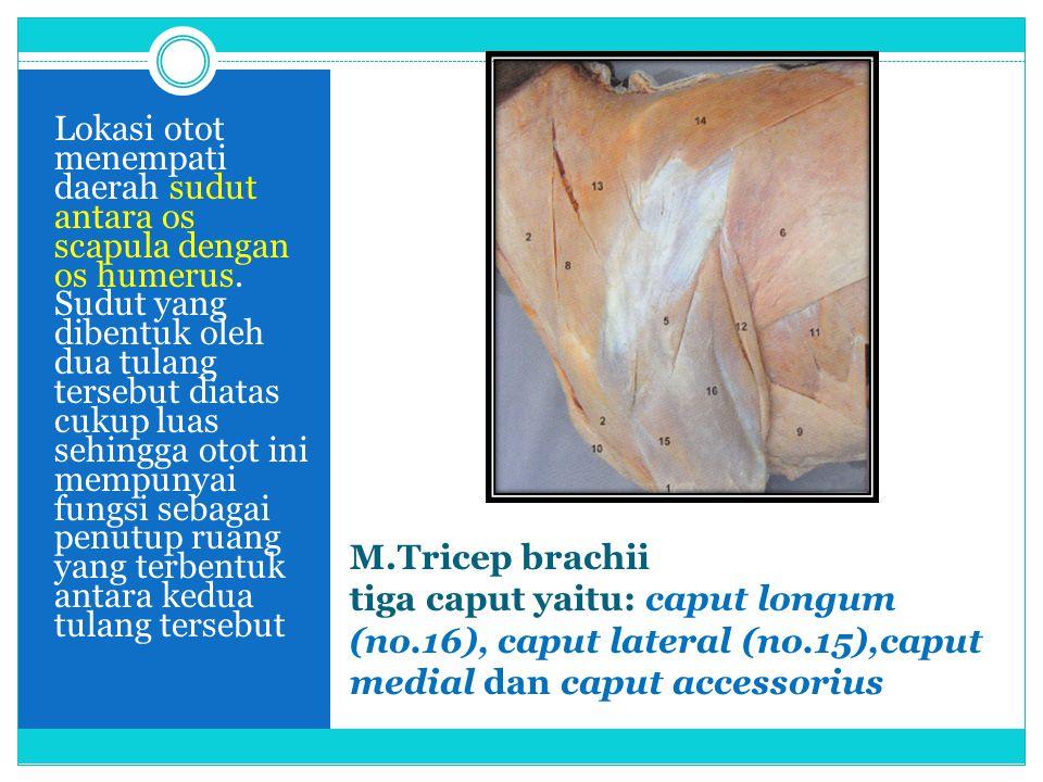 M.Tricep brachii tiga caput yaitu: caput longum (no.16), caput lateral (no.15),caput medial dan caput accessorius Lokasi otot menempati daerah sudut a