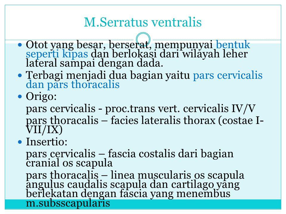 M.Serratus ventralis Otot yang besar, berserat, mempunyai bentuk seperti kipas dan berlokasi dari wilayah leher lateral sampai dengan dada. Terbagi me
