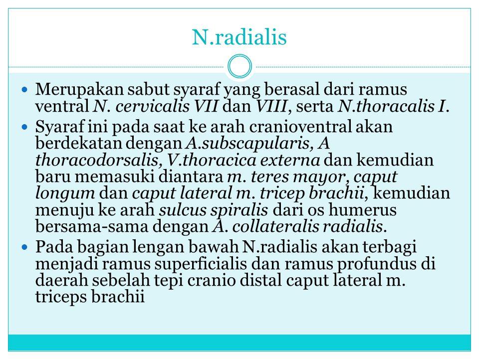 N.radialis Merupakan sabut syaraf yang berasal dari ramus ventral N. cervicalis VII dan VIII, serta N.thoracalis I. Syaraf ini pada saat ke arah crani