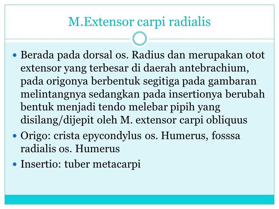 M.Extensor carpi radialis Berada pada dorsal os. Radius dan merupakan otot extensor yang terbesar di daerah antebrachium, pada origonya berbentuk segi