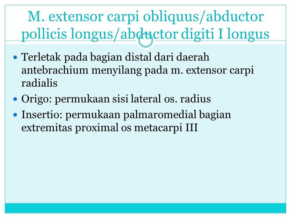 M. extensor carpi obliquus/abductor pollicis longus/abductor digiti I longus Terletak pada bagian distal dari daerah antebrachium menyilang pada m. ex