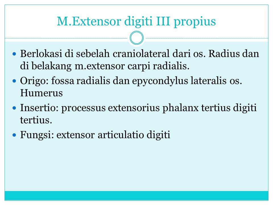 M.Extensor digiti III propius Berlokasi di sebelah craniolateral dari os. Radius dan di belakang m.extensor carpi radialis. Origo: fossa radialis dan