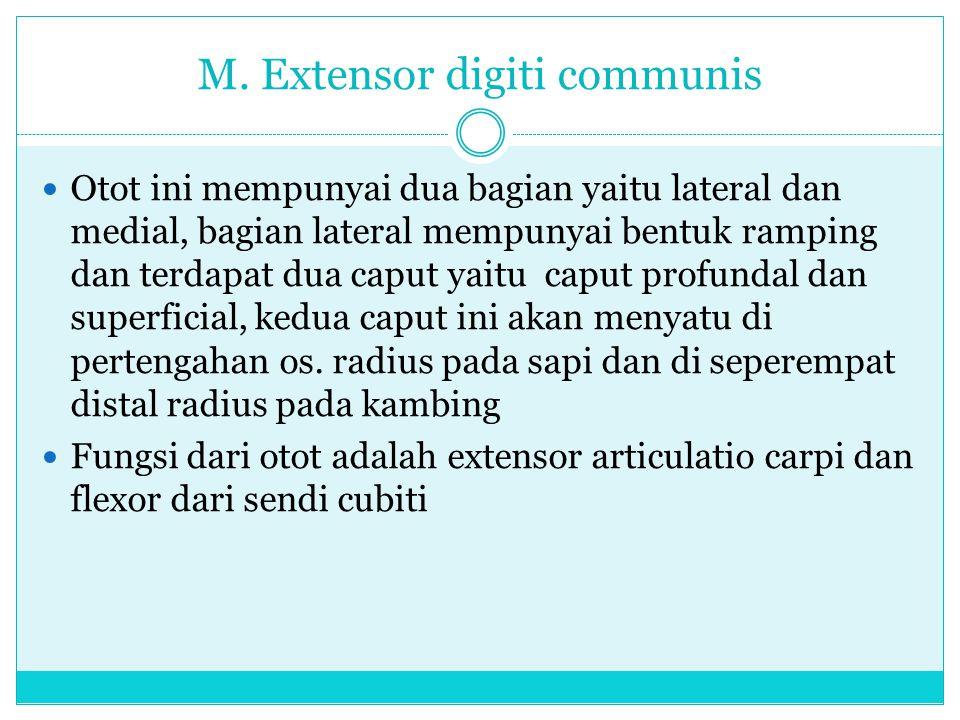 M. Extensor digiti communis Otot ini mempunyai dua bagian yaitu lateral dan medial, bagian lateral mempunyai bentuk ramping dan terdapat dua caput yai