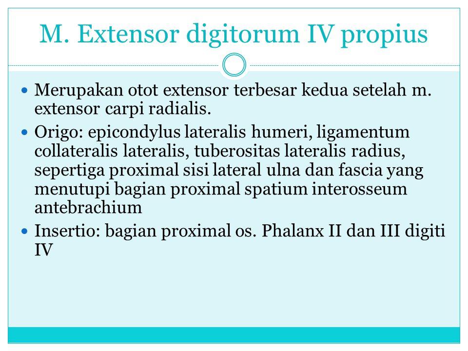 M. Extensor digitorum IV propius Merupakan otot extensor terbesar kedua setelah m. extensor carpi radialis. Origo: epicondylus lateralis humeri, ligam