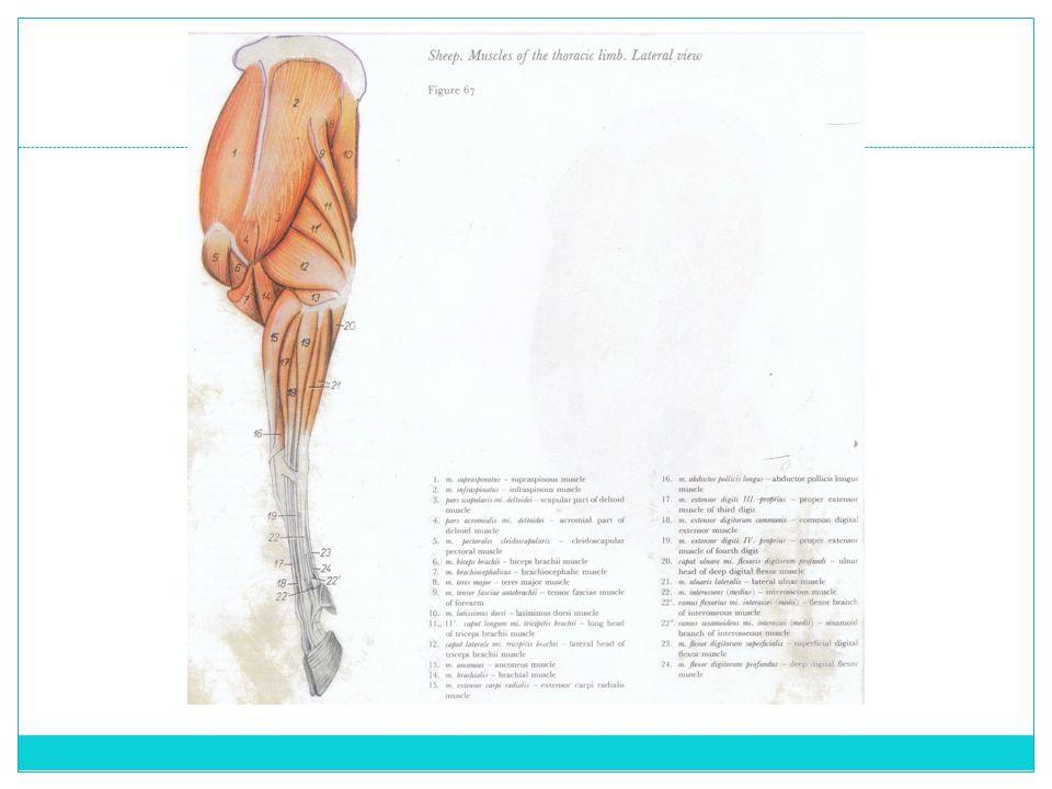 M.supraspinatus Merupakan otot yang juga berfungsi sebagai extensor sendi bahu Bentuk otot ini relatif tipis di daerah origo nya dan akan semakin tebal di daerah ventral (insertio) Origo: fossa supraspinatus dan di sisi ventral cartilago scapula Insertio: pada bagian cranial tuberositas major os humerus