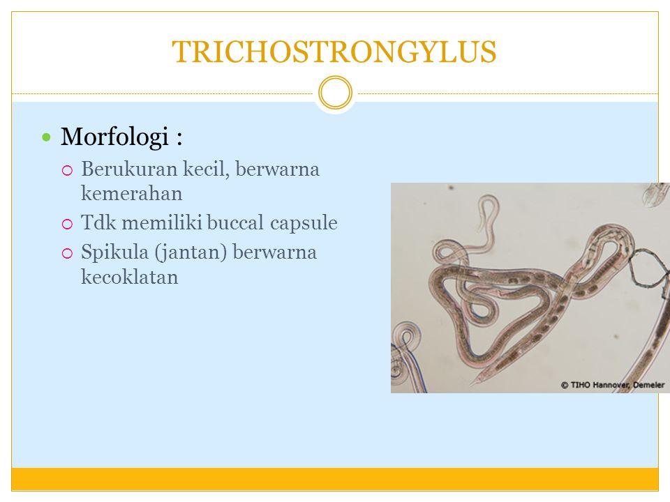 TRICHOSTRONGYLUS Morfologi :  Berukuran kecil, berwarna kemerahan  Tdk memiliki buccal capsule  Spikula (jantan) berwarna kecoklatan