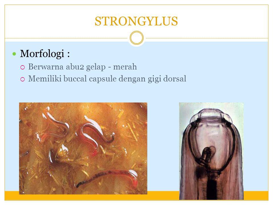 Patogenesa :  Jarang menimbulkan gejala klinis  Penetrasi cacing pada mukosa usus /abomasum  desquamasi epitel  pada infestasi banyak  penebalan dinding usus/abomasum  Jarang menimbulkan kematian