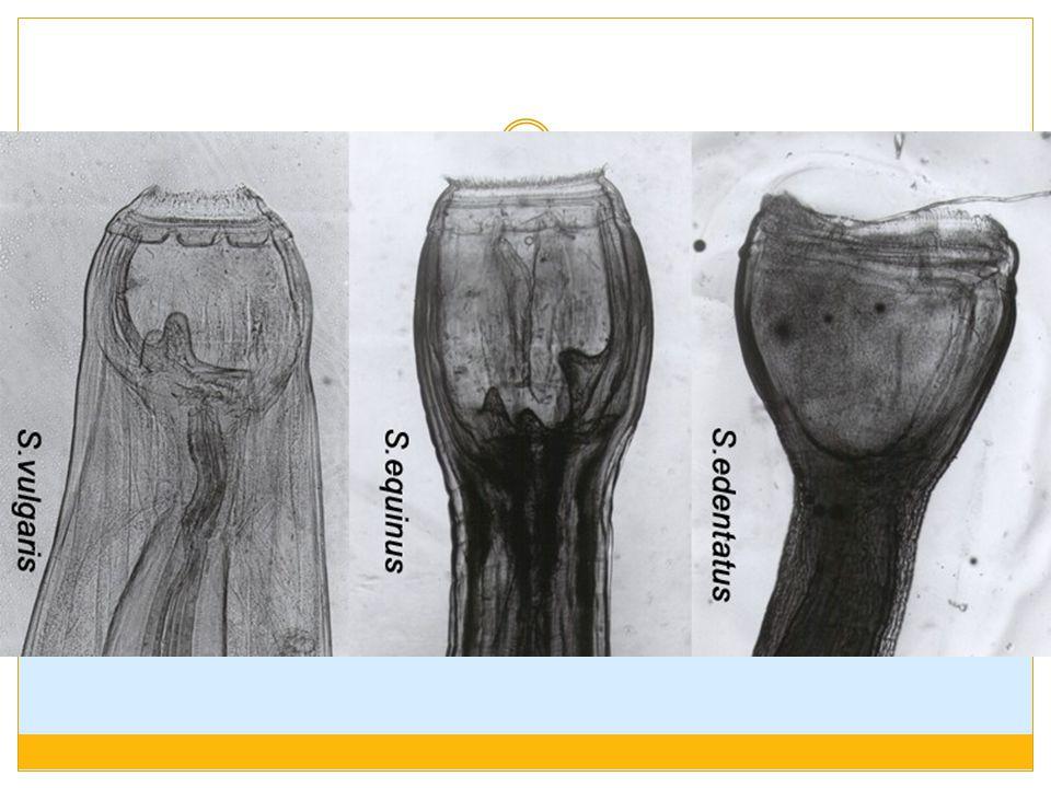 TRICHOSTRONGYLUS GK : gangguan lambung (pada infestasi berat), kelemahan pada kaki, emasiasi, anemia, pada hewan muda  diare berwarna gelap Diagnosa : pemeriksaan feses, PA