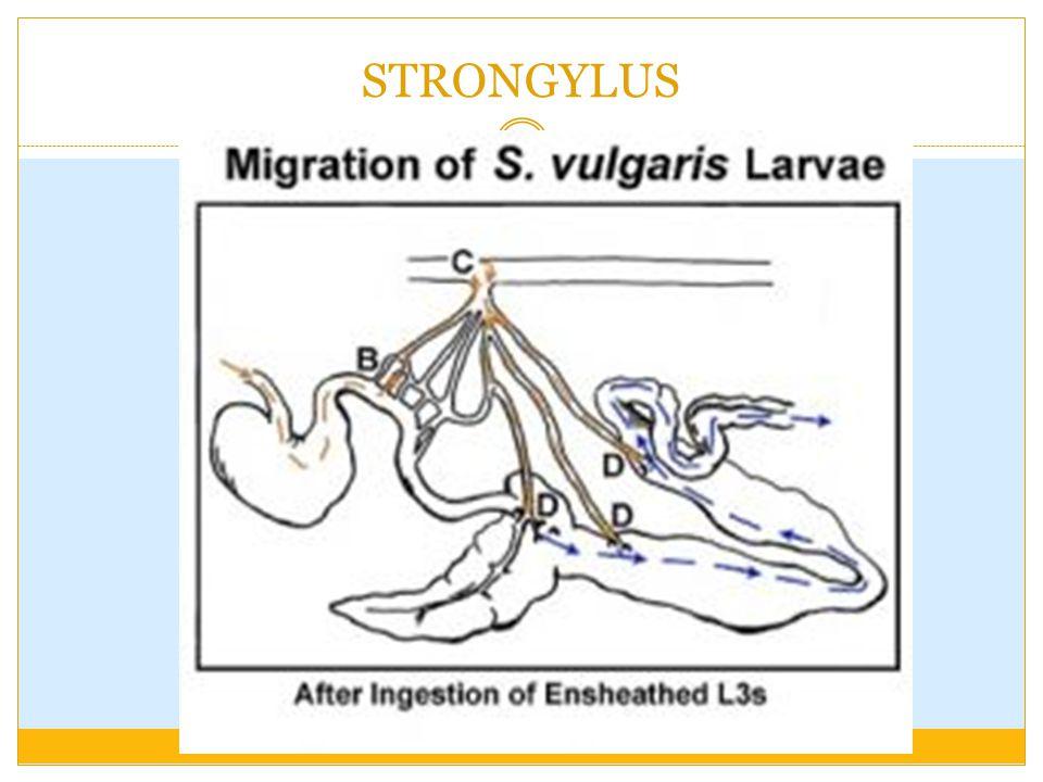 Patogenesa :  Penancapan buccal capsule pada mukosa usus  ruptur pembuluh darah & merobek mukosa  perdarahan  terus menerus dan dalam jumlah banyak  anemia  Migrasi larva  menembus mukosa usus  nodul2  Terbentuknya thrombus pada arteri (hasil migrasi larva)  emboli arteri messenterica  aneurisma  pengurangan peristaltik usus  intusussepsi / volvulus  kolik