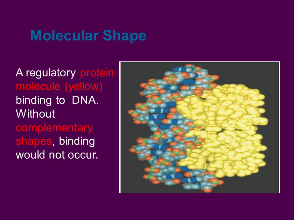 Molecular Shape A regulatory protein molecule (yellow) binding to DNA. Without complementary shapes, binding would not occur.