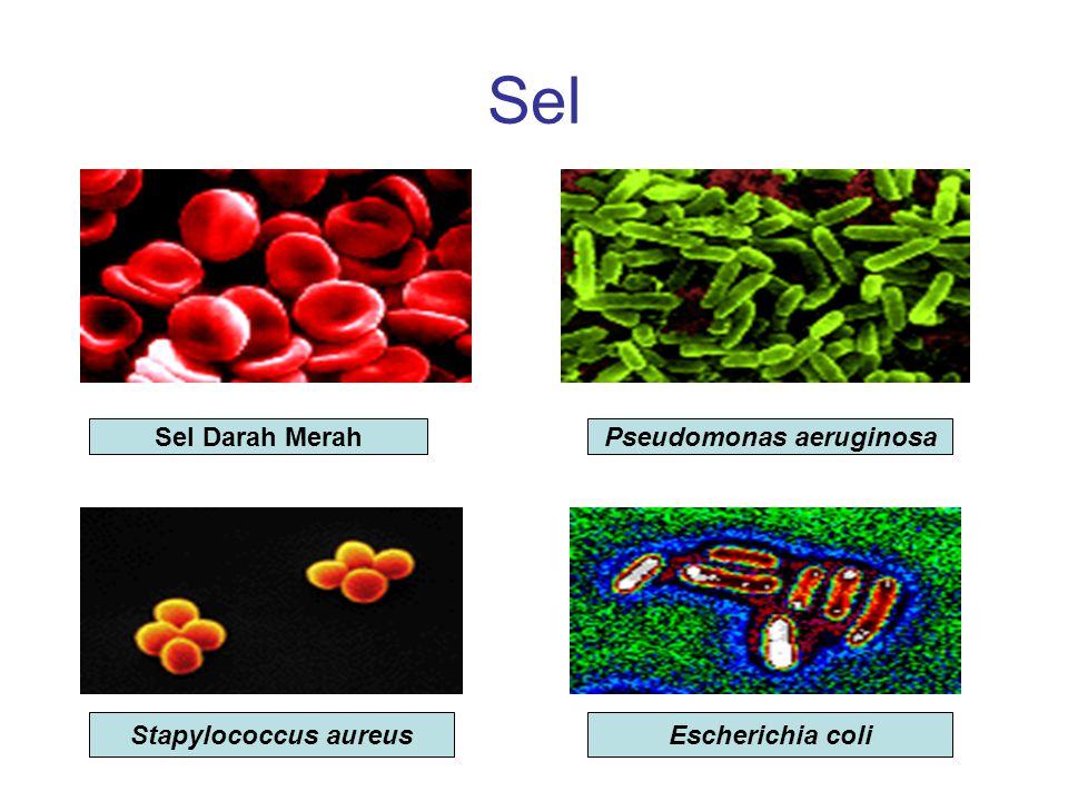 Sel Sel Darah MerahPseudomonas aeruginosa Stapylococcus aureusEscherichia coli