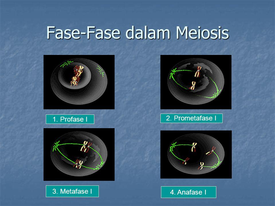 Fase-Fase dalam Meiosis 1. Profase I 2. Prometafase I 3. Metafase I 4. Anafase I