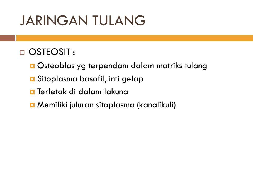 JARINGAN TULANG  OSTEOSIT :  Osteoblas yg terpendam dalam matriks tulang  Sitoplasma basofil, inti gelap  Terletak di dalam lakuna  Memiliki julu