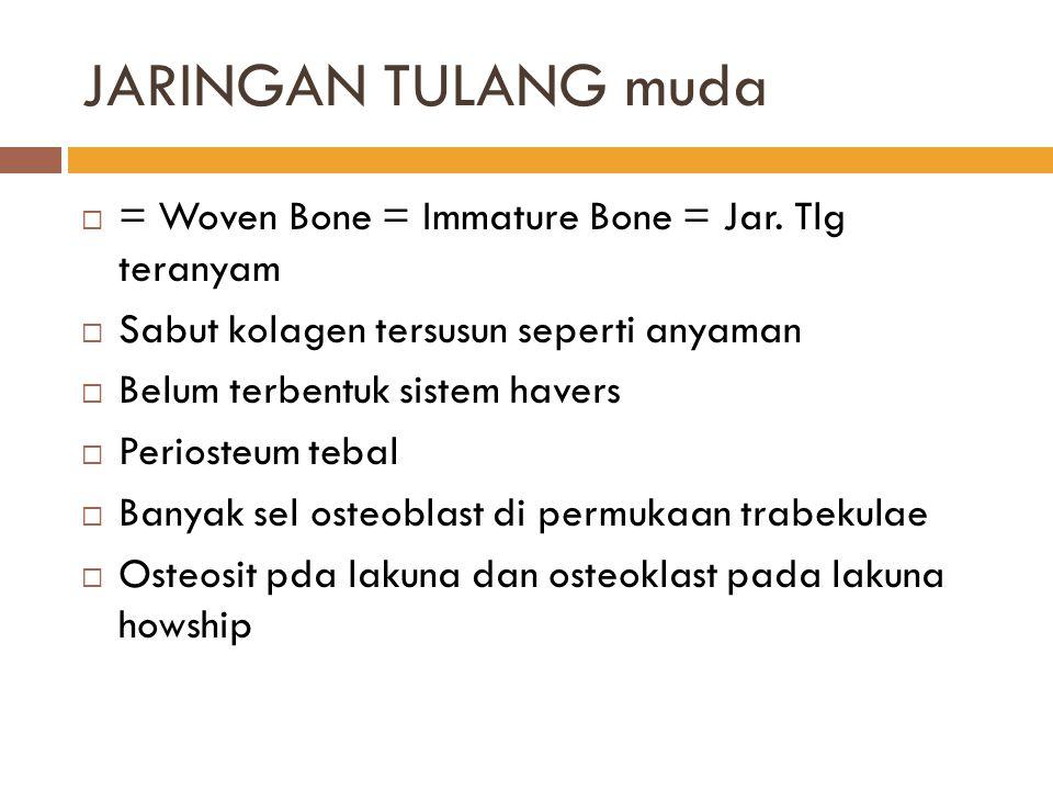 JARINGAN TULANG muda  = Woven Bone = Immature Bone = Jar. Tlg teranyam  Sabut kolagen tersusun seperti anyaman  Belum terbentuk sistem havers  Per