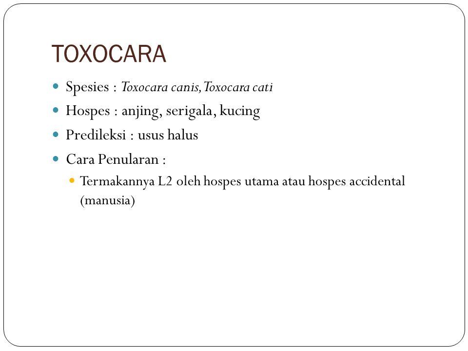 TOXOCARA Spesies : Toxocara canis, Toxocara cati Hospes : anjing, serigala, kucing Predileksi : usus halus Cara Penularan : Termakannya L2 oleh hospes