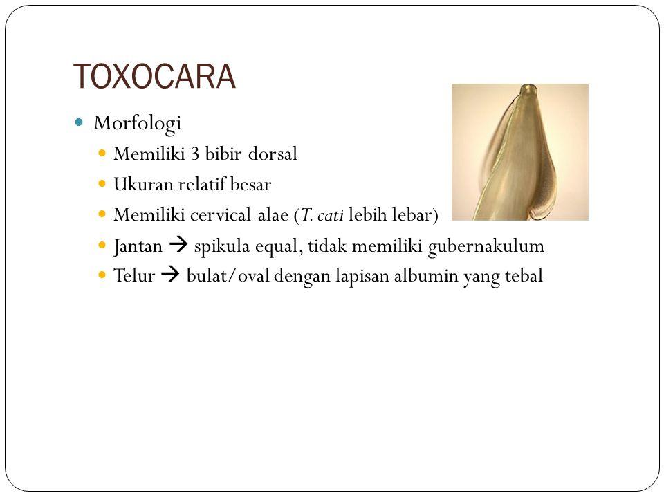 TOXOCARA Morfologi Memiliki 3 bibir dorsal Ukuran relatif besar Memiliki cervical alae (T. cati lebih lebar) Jantan  spikula equal, tidak memiliki gu